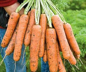 Морковь Вита-Лонга