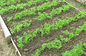 Морковная грядка весеннего посева