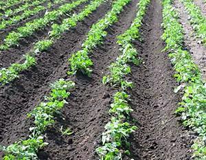 Обработанное поле картофеля