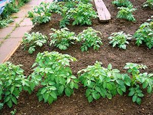 Первая подкормка картофеля