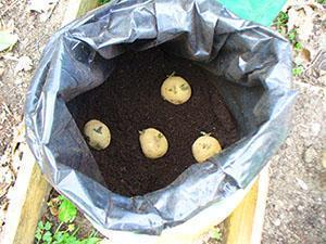 Посадка картофеля в мешок