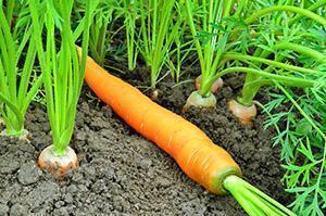 Посадка моркови на даче