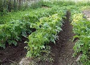 Правильно окученные гряды картофеля
