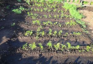 Прореживание и полив моркови