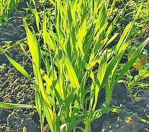 Рожь для мульчирования почвы