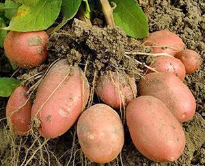 Сбор урожая раннего картофеля