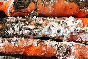 Склеротиниоз моркови