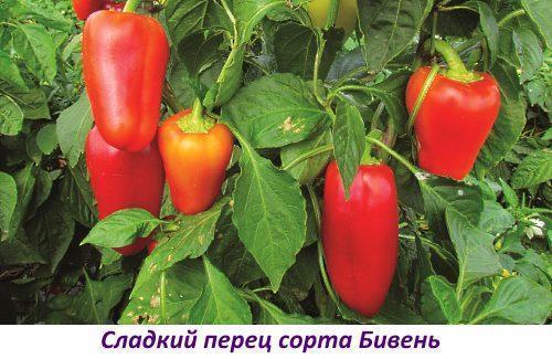 Перец Бивень