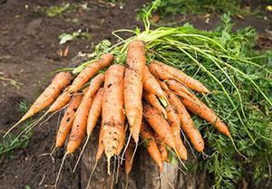 Урожай моркови на даче