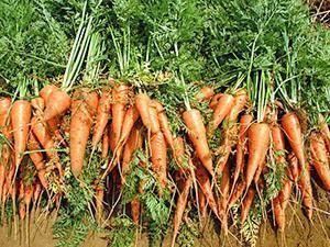 Морковь и чеснок на одной грядке