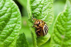 Вредитель картофеля колорадский жук
