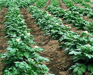 Время полива картофеля