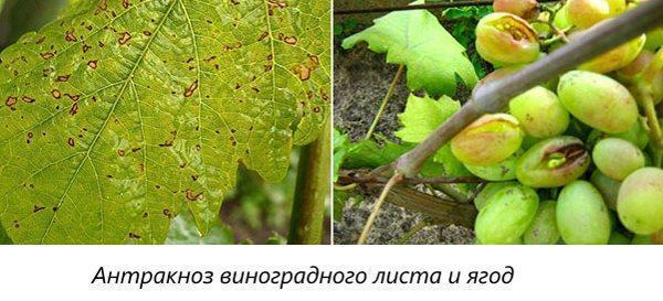 Антракноз виноградного листа и ягод