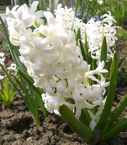 Белый гиацинт в саду