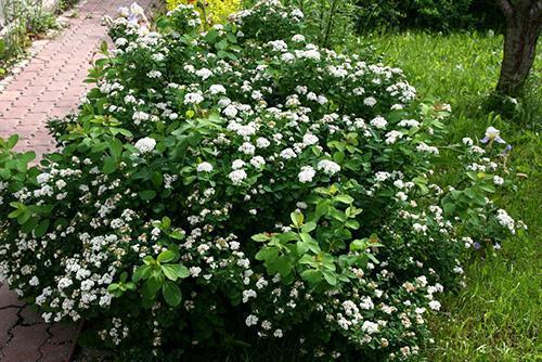 Березолистная красавица в саду