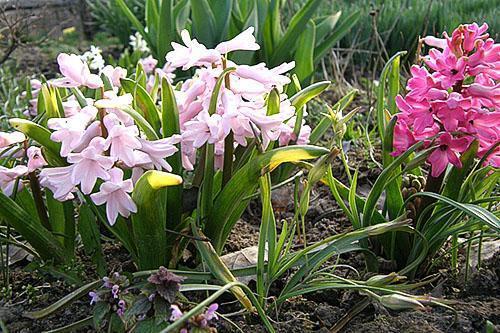 Цветение правильно высаженных гиацинтов
