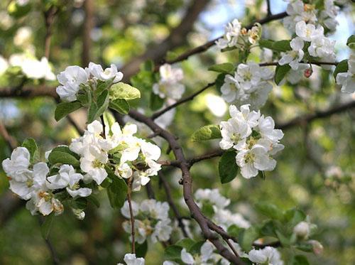 Цветет яблоня сорта Штрифель