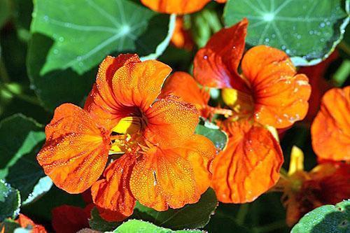 Цветок настурция большая