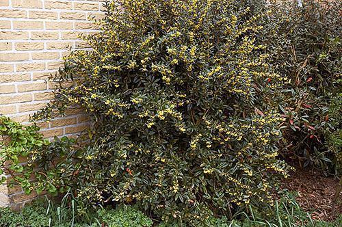 Цветущий куст барбариса