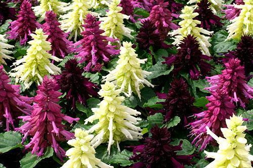 Цветы Salvia splendens