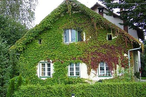 Девичий виноград на стене дома