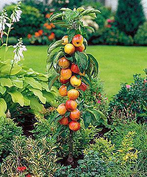 Как посадить колоновидную яблоню осенью