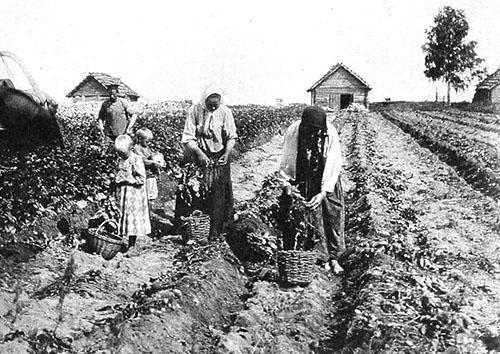 Крестьяне учатся выращивать картофель