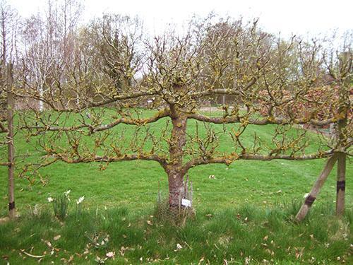Крона старого дерева