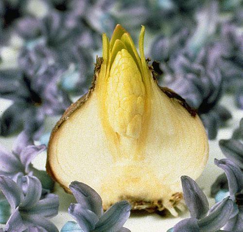Луковица готова к новому вегетационному периоду