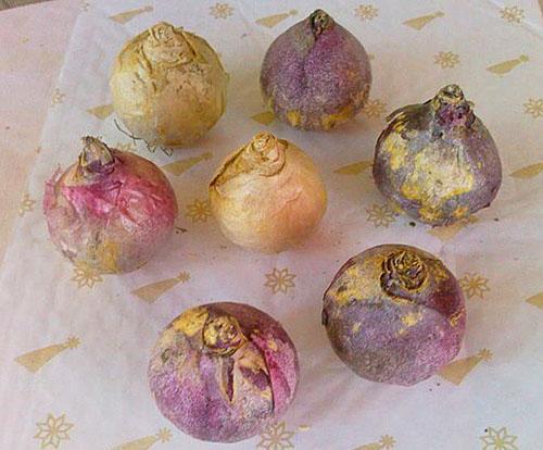 Луковицы гиацинтов разных сроков цветения