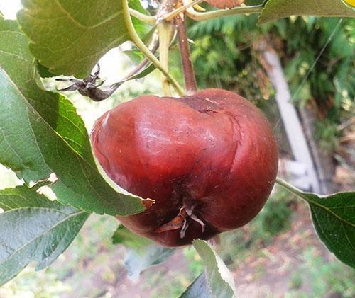 Монилиоз яблока