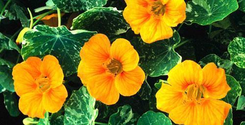 Настурция для украшения сада