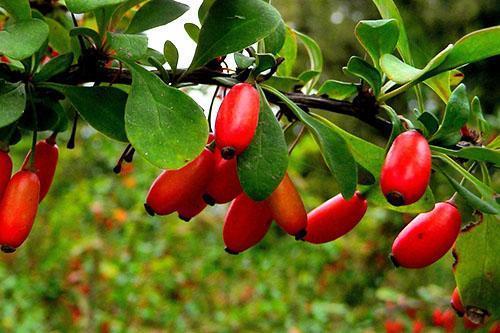 Необычного вкуса барбарисовые плоды