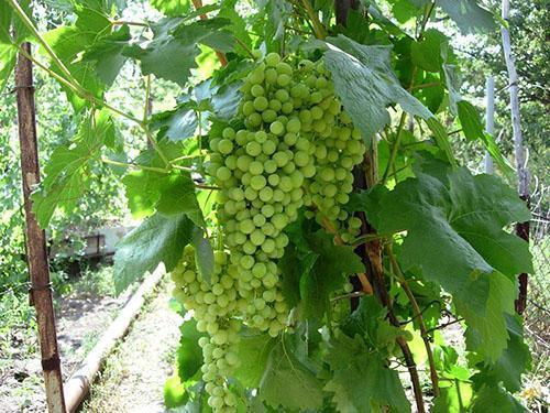Обильный урожай виноградной лозы