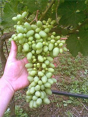 Обмельчение завязи винограда