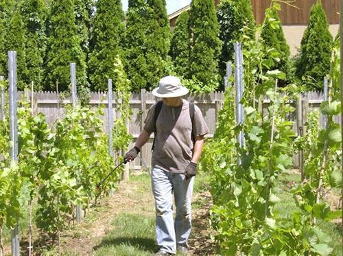 Уход за виноградом изабелла в средней полосе