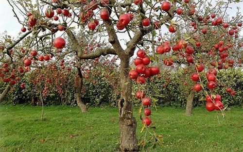 Одновременное созревание яблок