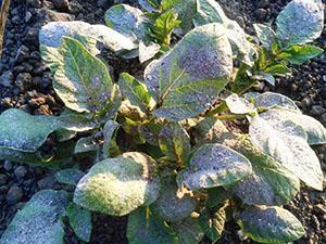 Опудривание картофельных кустов