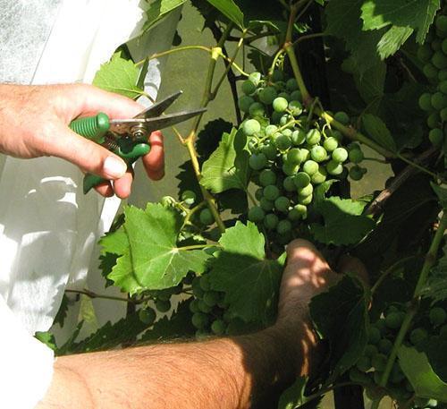 Организуется доступ солнечных лучей к гроздьям винограда