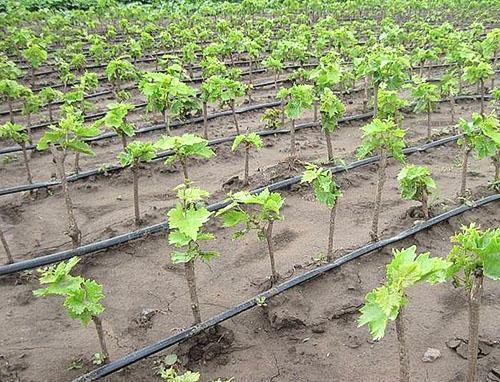Первый год выращивания винограда