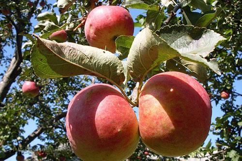 Плоды сорта Жигулевское