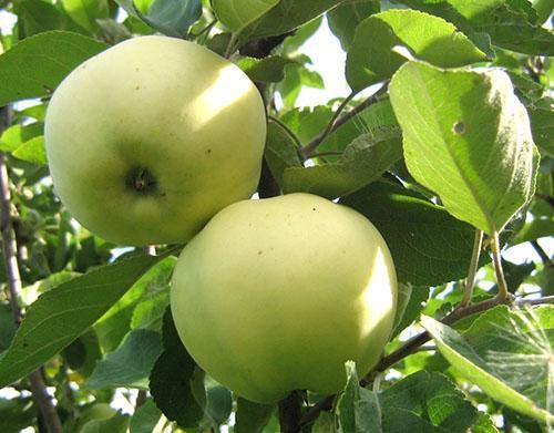 Плоды яблони Папировка