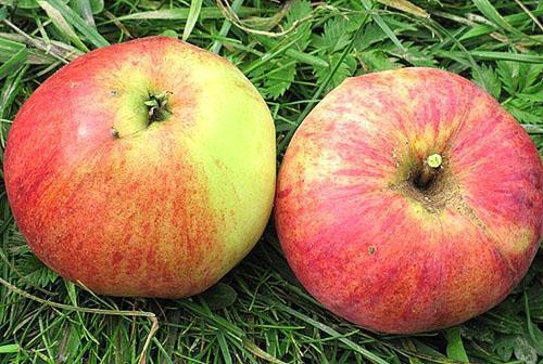 Плоды яблони сорта Аэлита