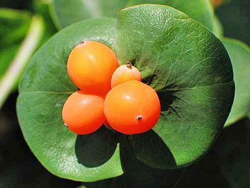 Плоды жимолости каприфоль