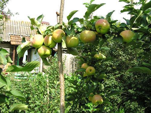Подпорка плодоносящего дерева