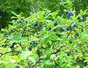 Полезные плоды жимолости съедобной