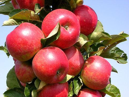 Пора пробовать яблоки на спелость