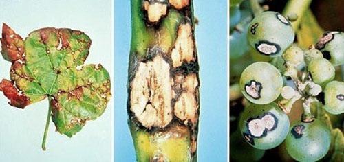 Пораженный болезнью куст винограда