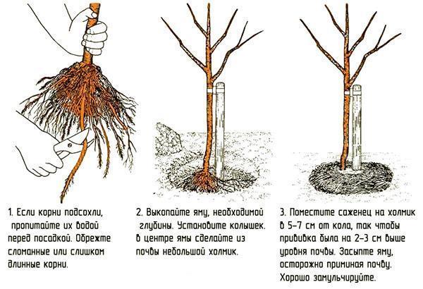 Посадка саженца с открытой корневой системой