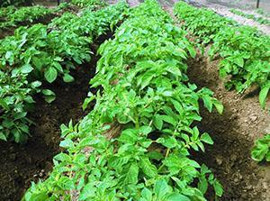 Посадки картофеля защищенные от колорадского жука